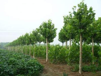 法国梧桐修补树苗根系以确保根系与土壤触摸严密
