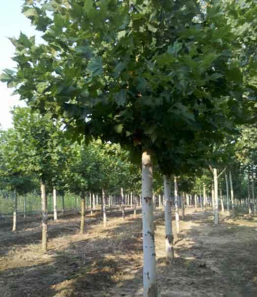 法国梧桐幼树的枝梢生长良喜肥喜湿