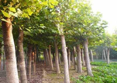 法国梧桐丛生密集叶宽大翠绿姿态雅丽