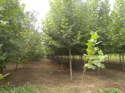 法国梧桐栽植观光木喜湿喜肥可群植