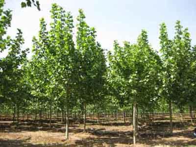 法国梧桐每根保留萌苗并分次及时培土