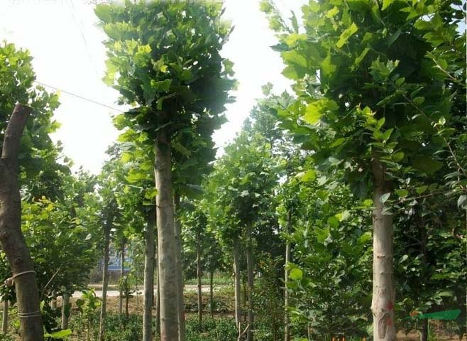 法国梧桐树冠植于庭院中颇品优美