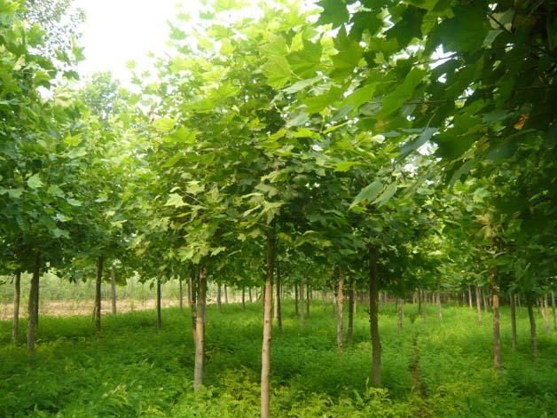 法国梧桐育苗垄上肥土层厚通气条件较好