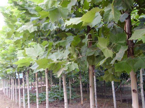 法国梧桐育苗扦插株行覆盖保温