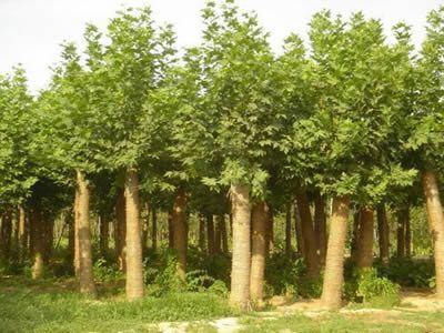 法国梧桐播种保持床面湿润防止种子芽干