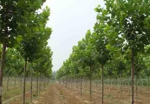 法国梧桐播种苗木根系与土壤紧密结合