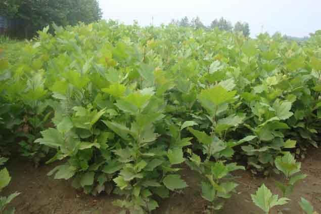 法国梧桐采集生长嫩枝扦插育苗