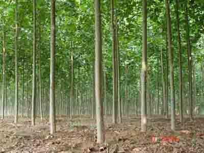 法国梧桐植物的栽植技术