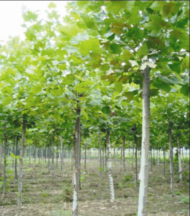 法国梧桐修剪苗木正常发芽浇水