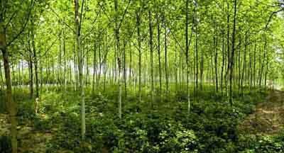 法国梧桐叶面喷水叶挺立再浇透水