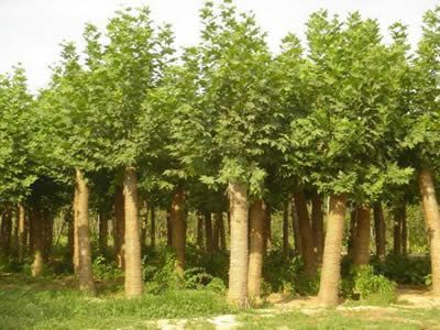 法国梧桐植物与施肥保持适度湿润