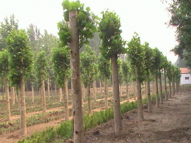 法国梧桐根系与土壤间密接