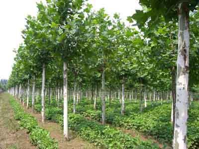 法国梧桐较大形灌木茎枝粗壮直立