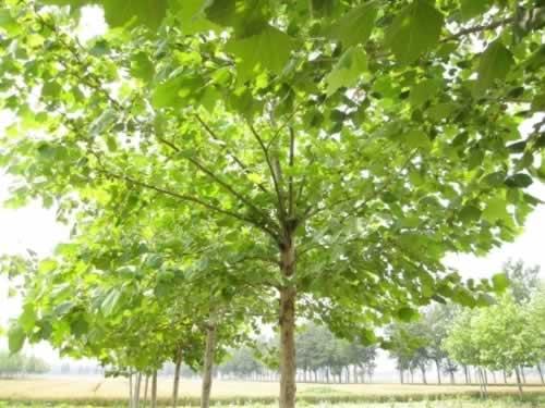 法国梧桐播种培育成苗木