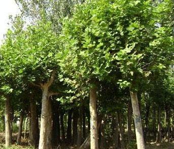 法国梧桐苗木用途与整形挺拔主干和自然形树冠