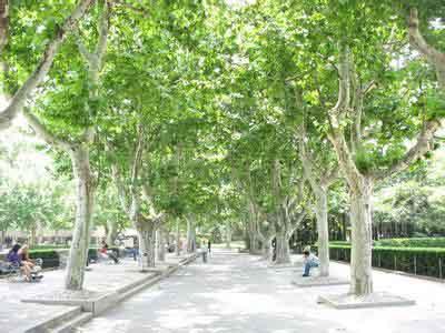 法国梧桐母树埋入土中进行育苗