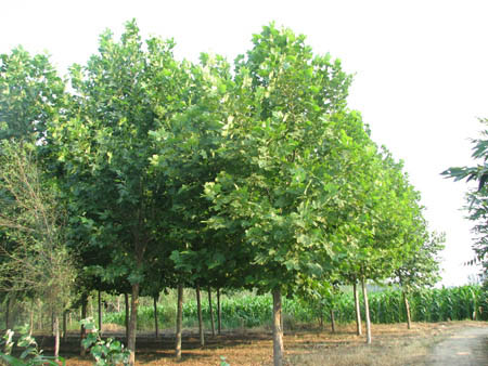 法国梧桐起苗优良种子培育区特点株行距大