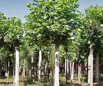 法国梧桐育苗方便保水性能好浇水