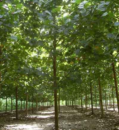 法国梧桐好圃地上施基肥浇水精耕细作