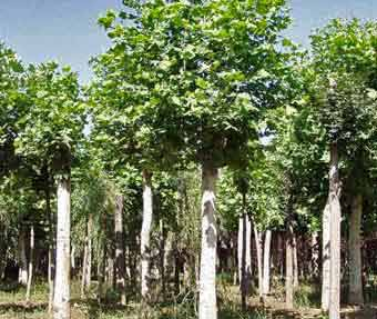 法国梧桐树冠以利成活待成活后重新养冠