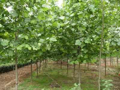 法国梧桐栽后成活率高幼树能提前生长