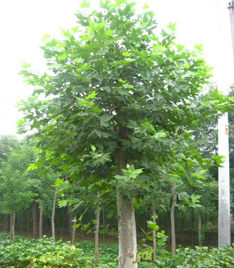 法国梧桐树冠圆形树皮暗灰褐色