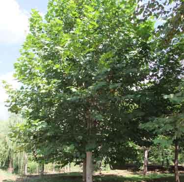 法国梧桐植物栽植增加小地形起伏