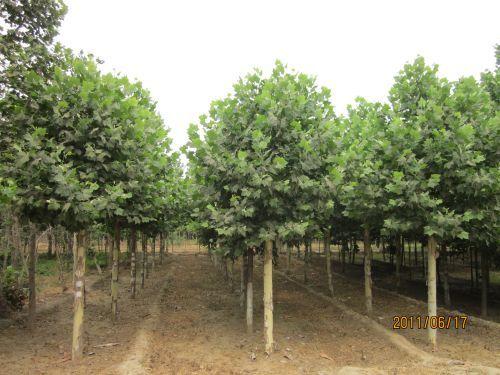 法国梧桐苗木移植时中小苗需带宿土