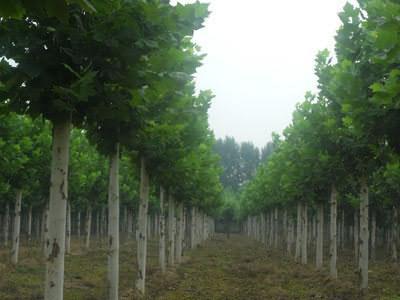 法国梧桐枝繁叶茂层层密布
