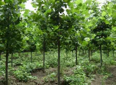 法国梧桐苗木出圃前的预处理