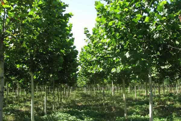 法国梧桐树苗树冠进行必要修剪和捆绑