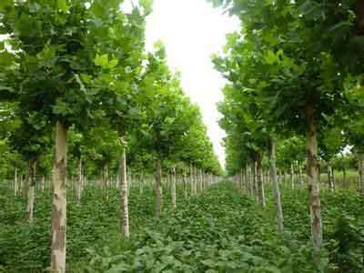 法国梧桐苗木繁殖短枝上丛生叶片扇形
