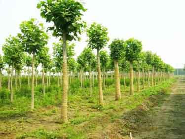 法国梧桐播种前整地创造良好条件