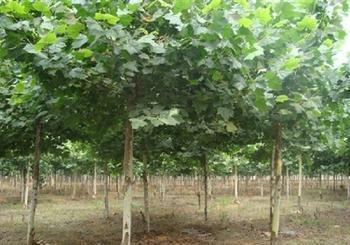 法国梧桐植物树冠塔形大枝平展小枝微垂