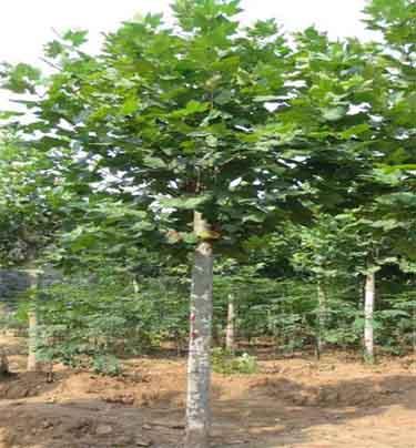 法国梧桐苗木品质及计划的完成