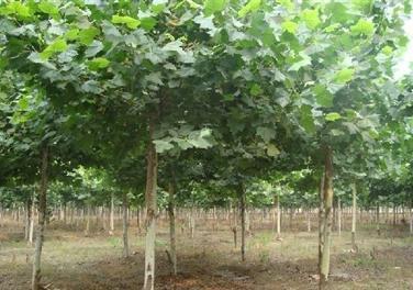 法国梧桐嫁接苗促使枝芽充实安全越冬