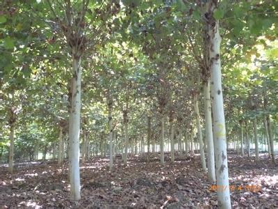 法国梧桐夏季怕酷热及干旱中等喜光树种