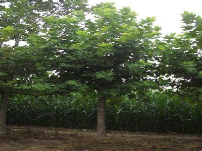 法国梧桐施肥枝叶的萌发生长