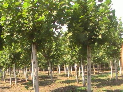 法国梧桐育苗根系发达根扎土较深