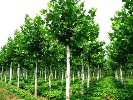 法国梧桐幼苗的树梢和土球更密集更依赖