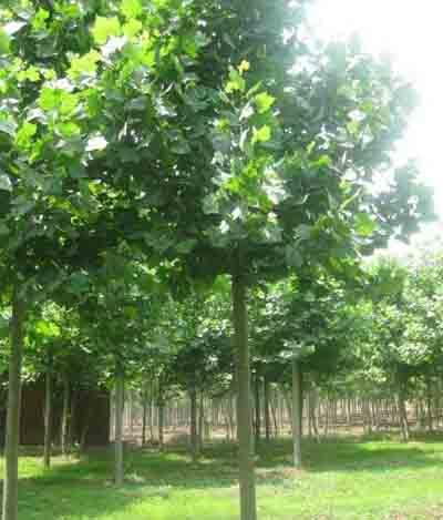 法国梧桐生长健壮腋芽饱满的当年生枝